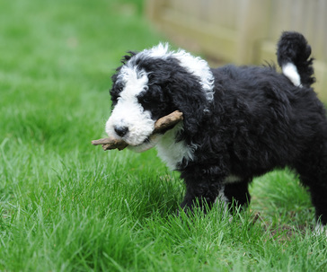 About F1B Sheepadoodles | Quality crossbreed doodles at Sweet
