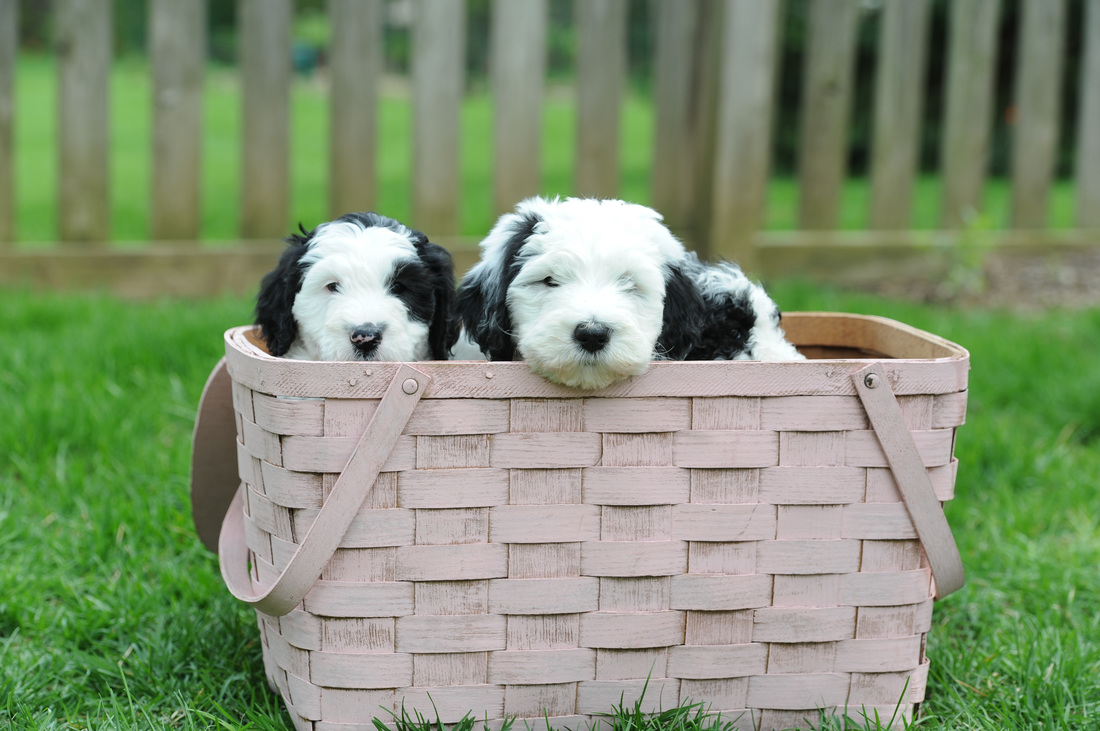 About the Sheepadoodle Breed | Sweet Sheepadoodles